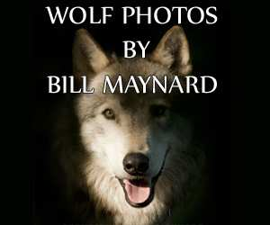 Bill Maynard, Wolf Photographer.