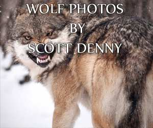 Scott Denny, Wolf Photographer.