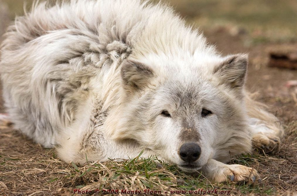 Wolf photograph : A resting wolf.