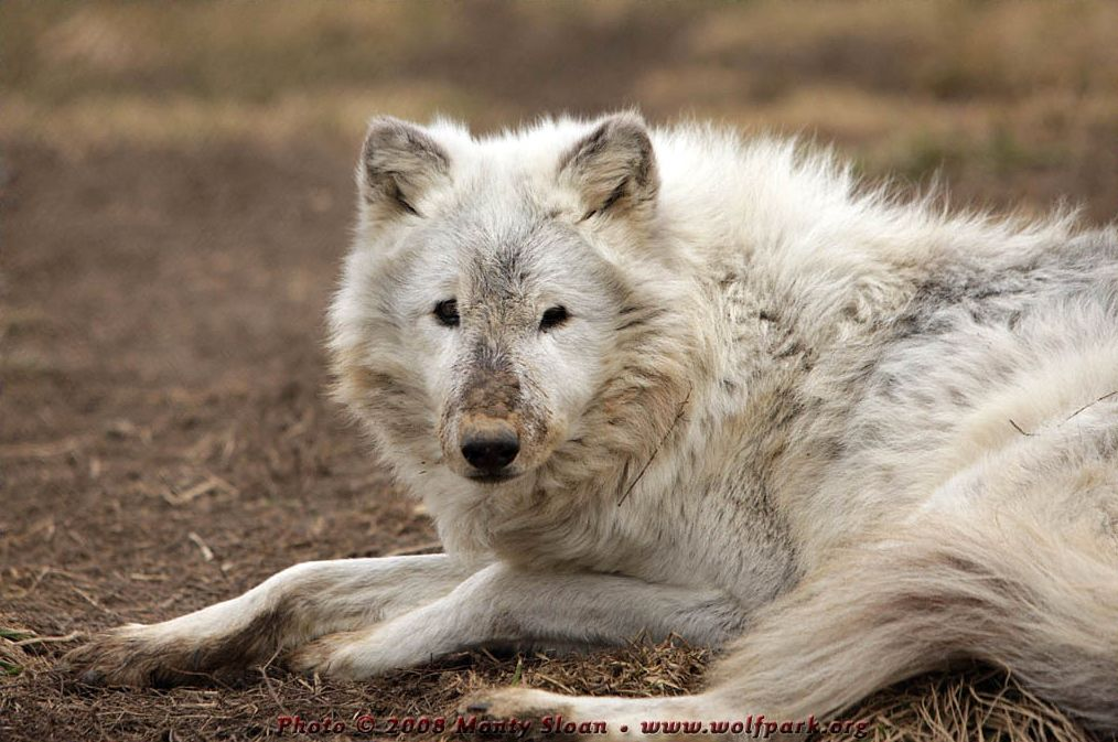 Wolf photograph : A Dirty Nosed Wolf.