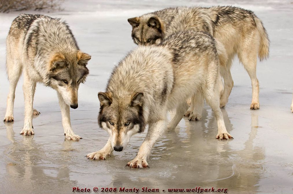 Wolf photograph : Three Wolves on Ice.
