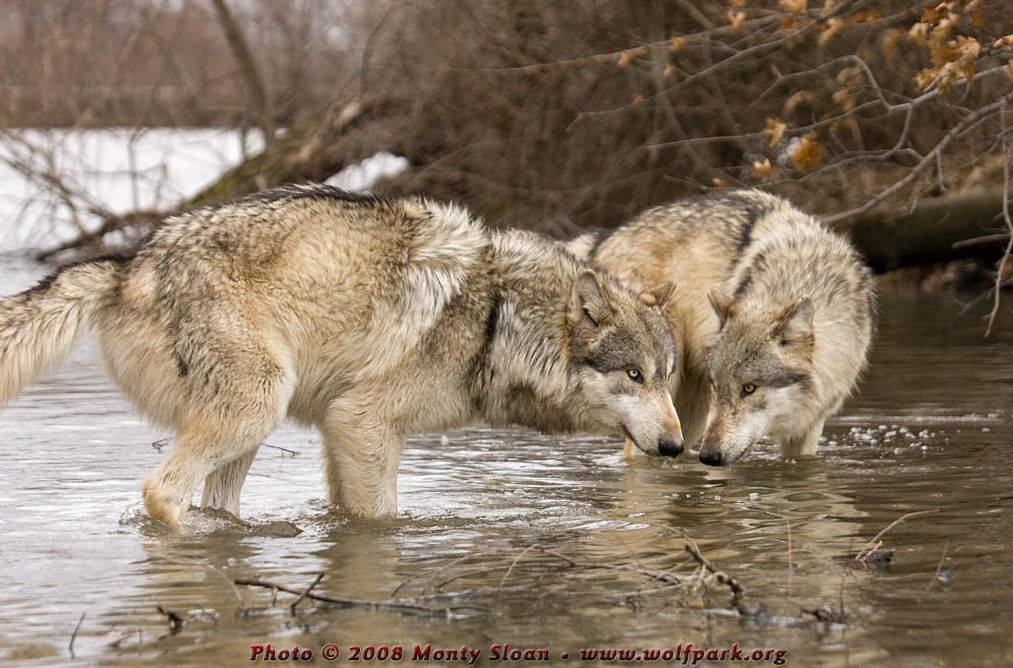 Wolf photograph : Wolves In Water.