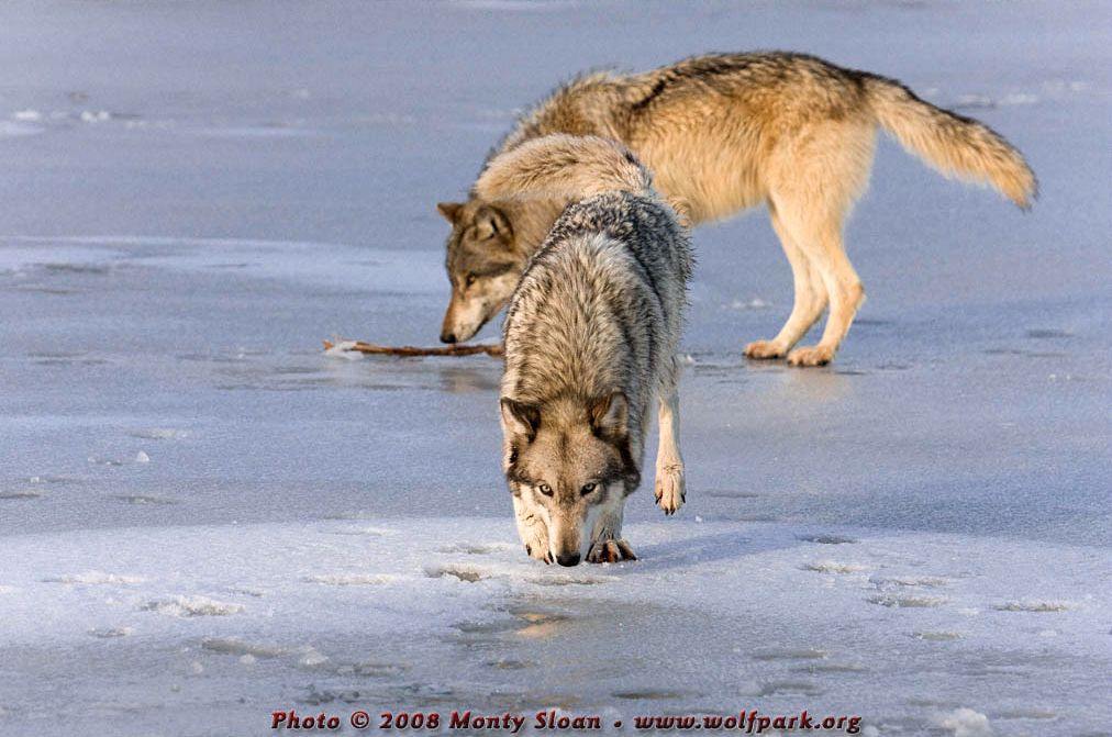 Wolf photograph : Two Wolves on Ice.