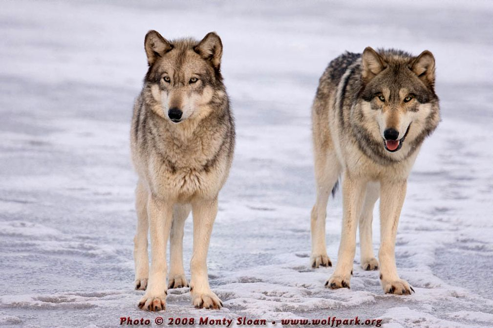 Wolf photograph : Two wolves face on.