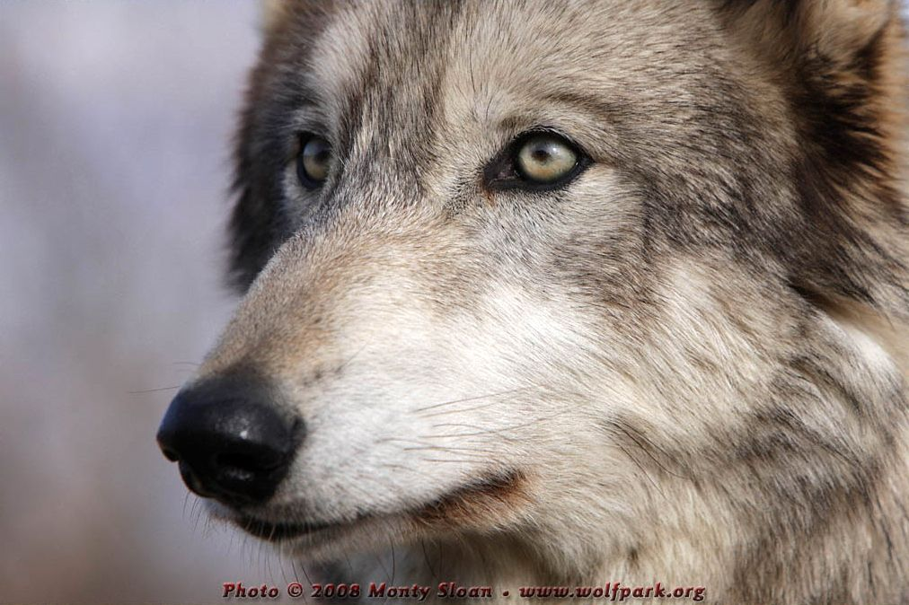 Close-up photograph of a wolf head.