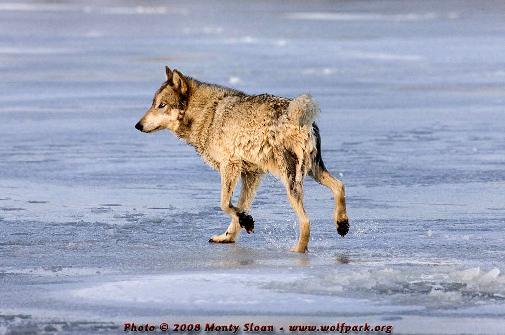 Wolf photograph : A wolf shaking off water.