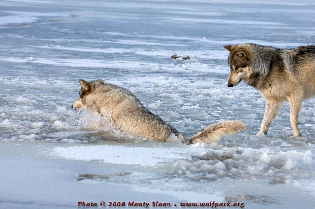 A Wolf half submerged in icy water.