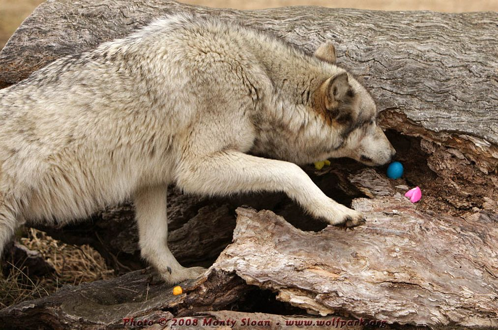 Wolf photograph : A Wolf with an egg.