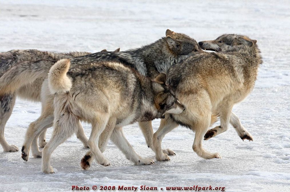A Pack of Wolves Playing.