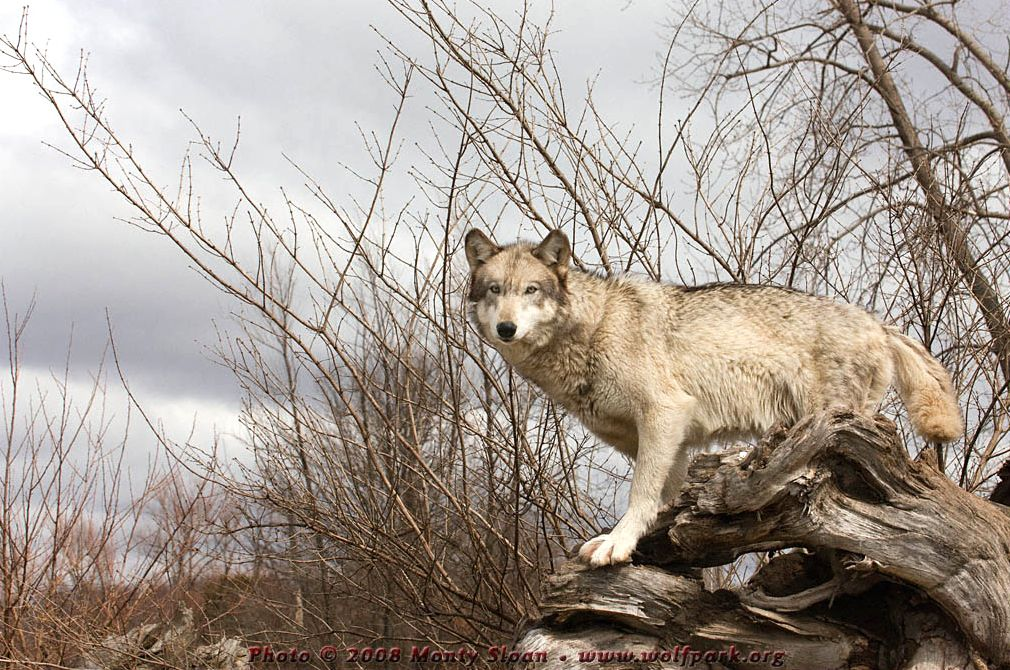 'Wolf Kailani' on a rootball.