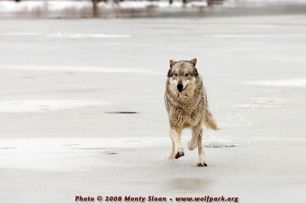 A wolf running face-on (Kailani).
