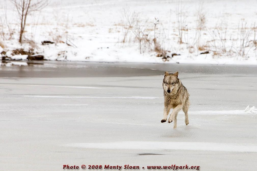 A wolf on thin ice (Kailani).
