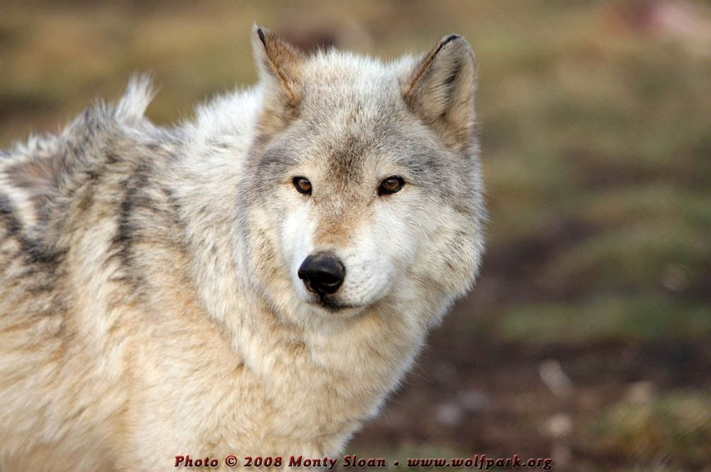 Portrait of a Wolf (Karin).