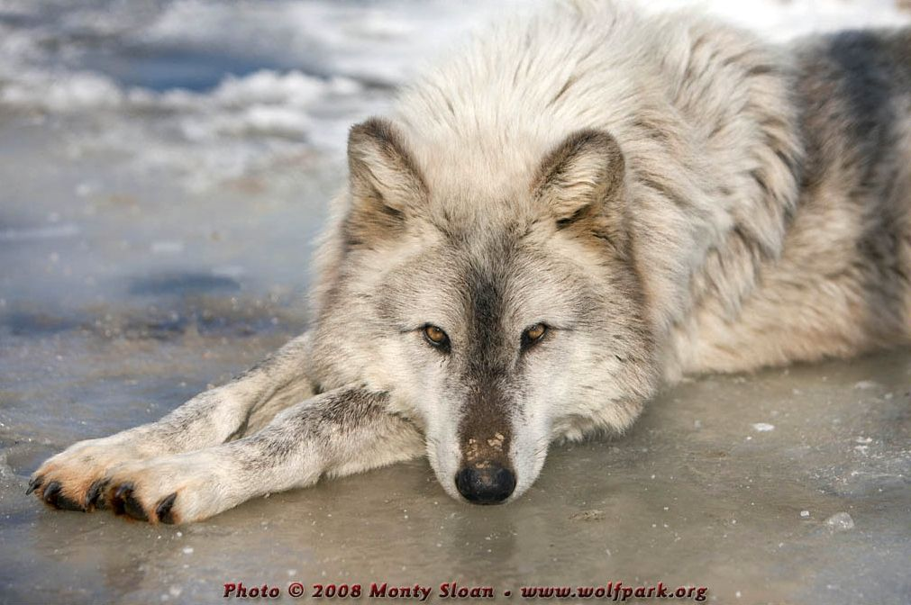 A wolf relaxing on a patch of ice (Miska).