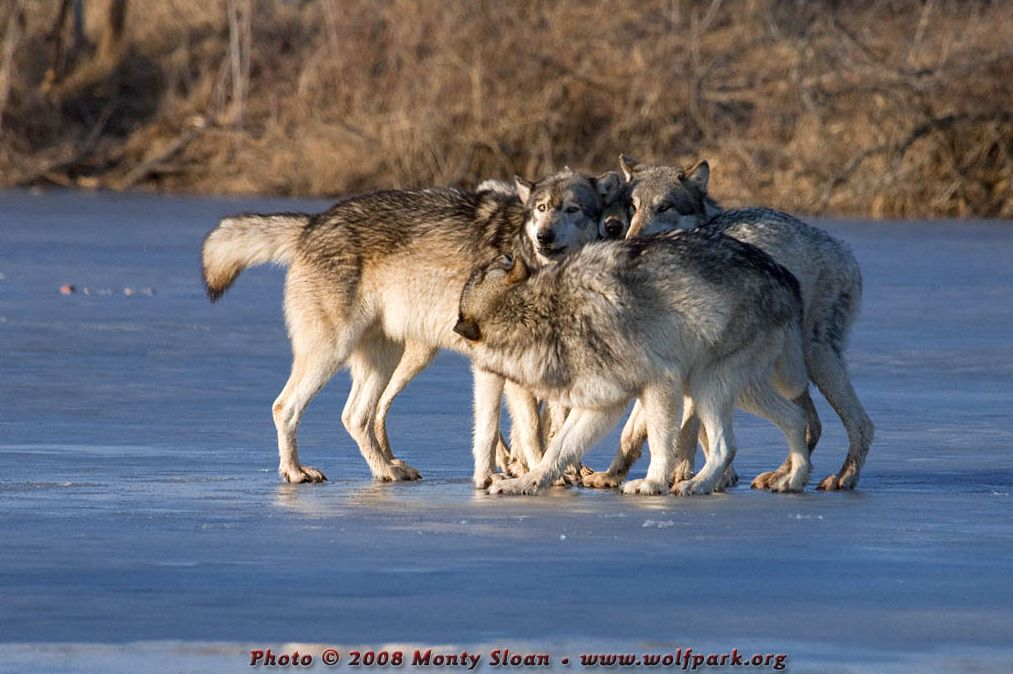 A Rallying Pack of Wolves.