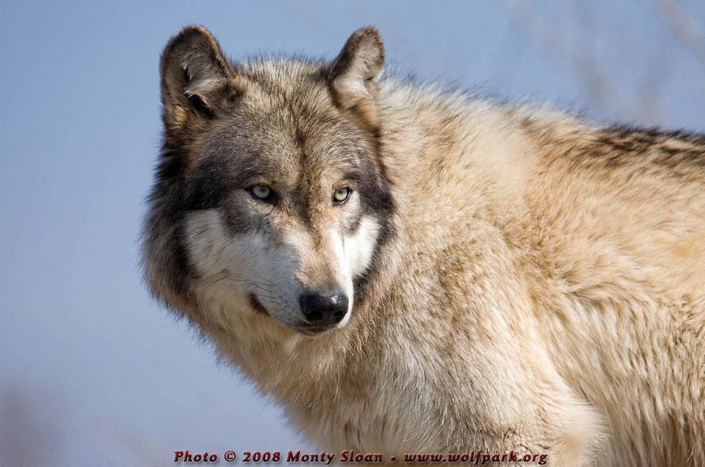 A profile of a wolf (Renki).