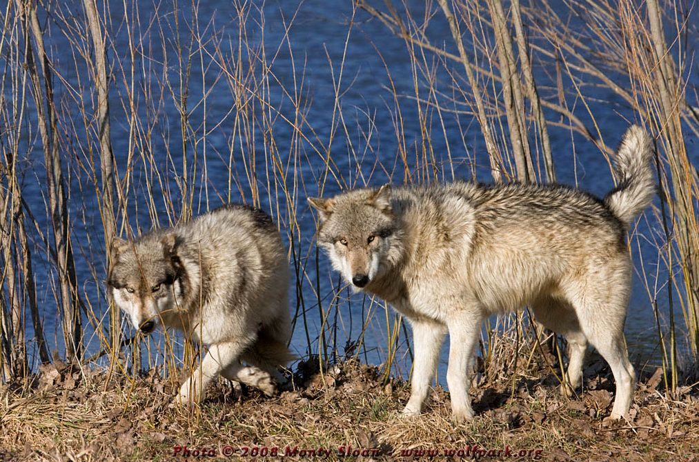 Wolf photograph : Two wolves by a pond.
