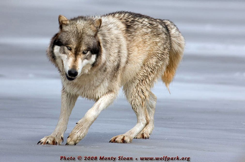 wolf photographs wolfrenki fell through and then did a