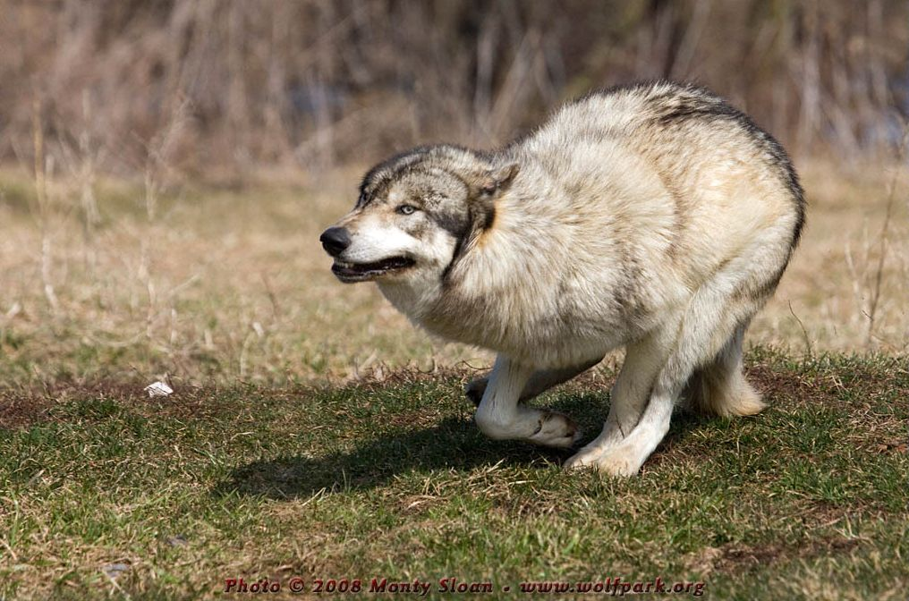 A wolf running about acting silly.