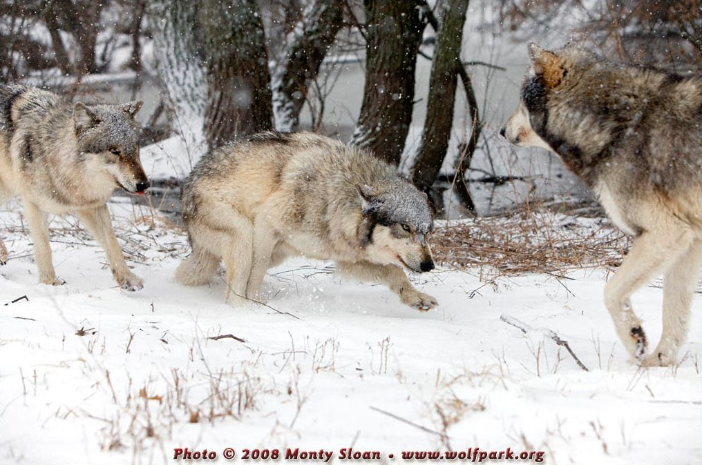 Wolves playing with one being rather submissive.
