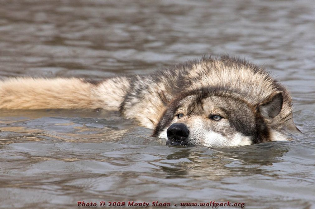 A Photograph of a Wolf Swimming.