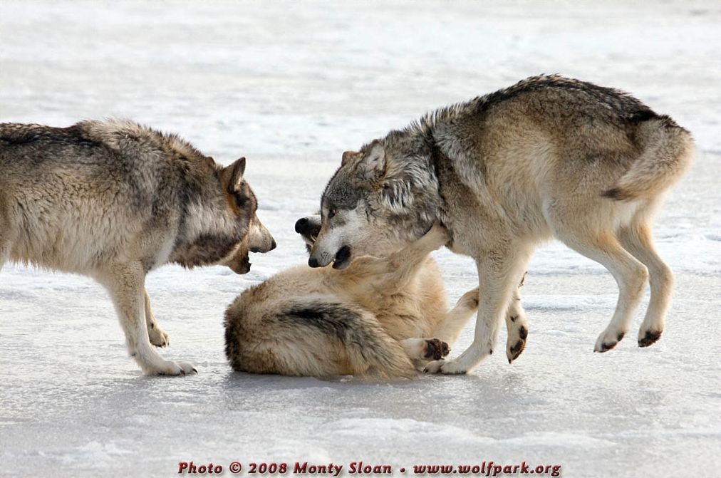 A Photograph of Three Wolves Playing.