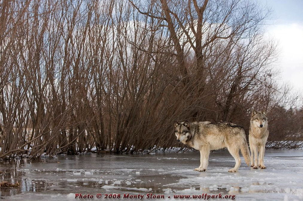 A Photograph of Two Wolves on Ice.