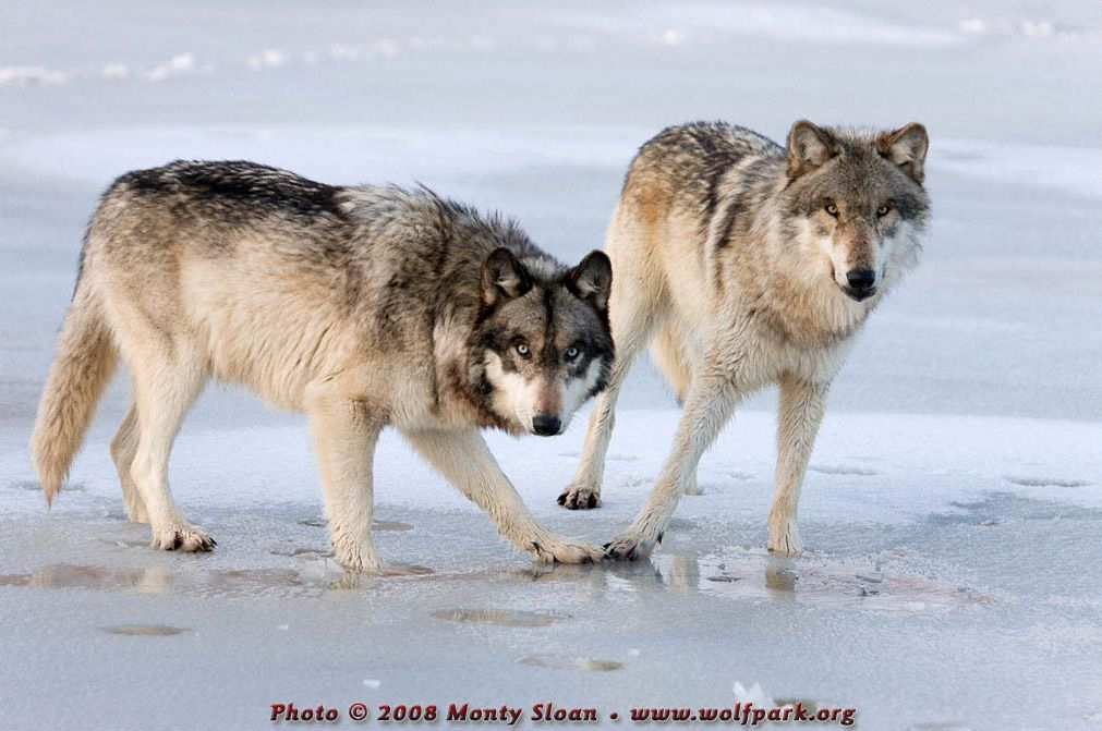 Two Standing Wolves.