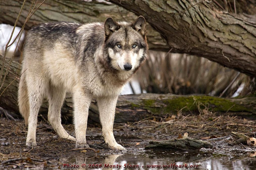 A Photograph of a Wolf by a Fallen Willow Tree.