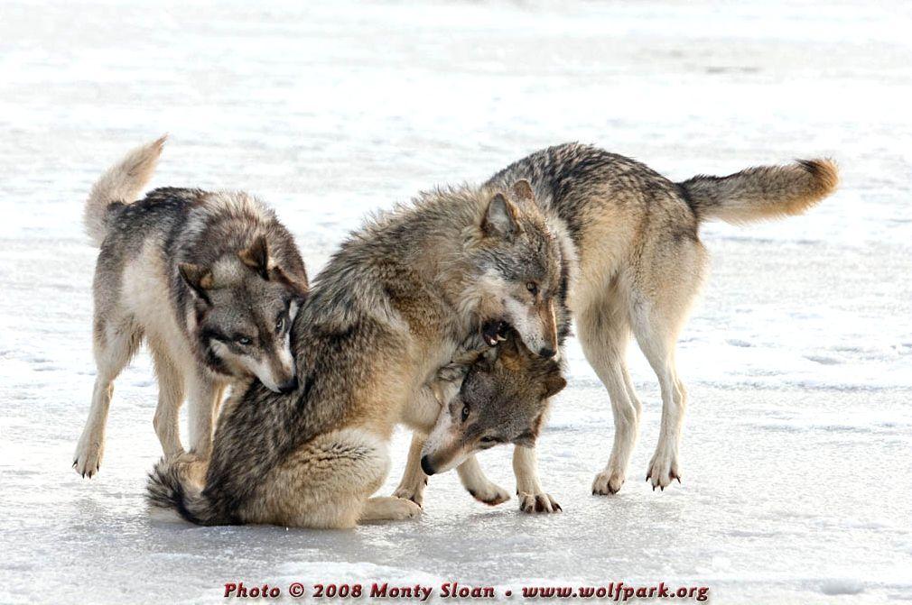 Wolf Lying On Back