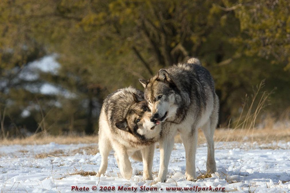 A Photograph of Two Wolves Greeting Each Other.