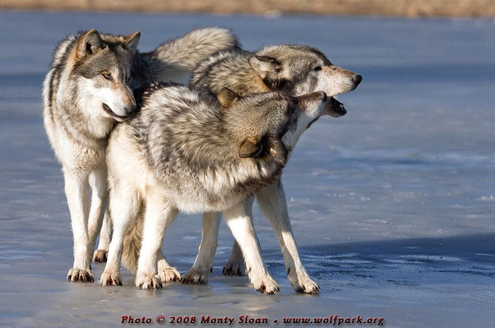 A Gathering of Wolves (Ruedi, Tristan and Wolfgang).