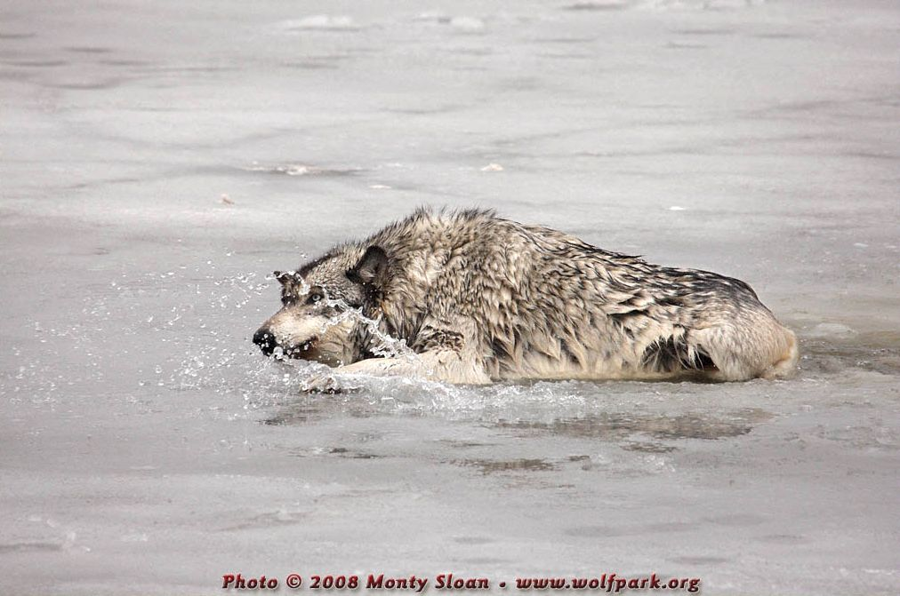 A Photograph of a wolf climbing out of a hole in the ice.