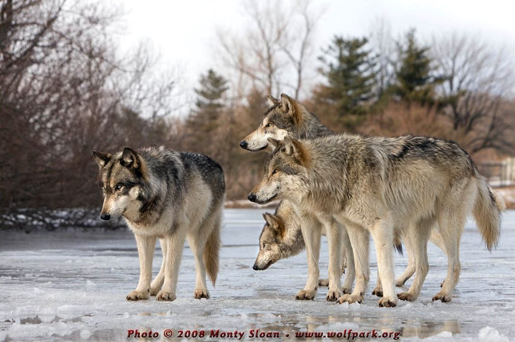 A Pack of Wolves.