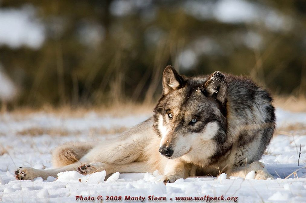 A wolf lying down in the snow (Ruedi).