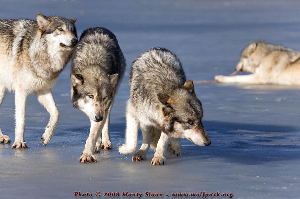 Four wolves on ice.
