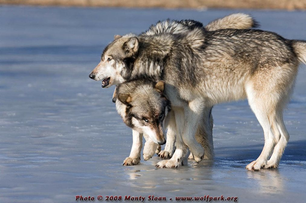 A Photograph of three wolves on ice.
