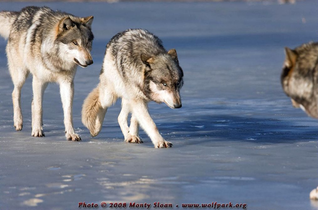 Two wolves approaching.