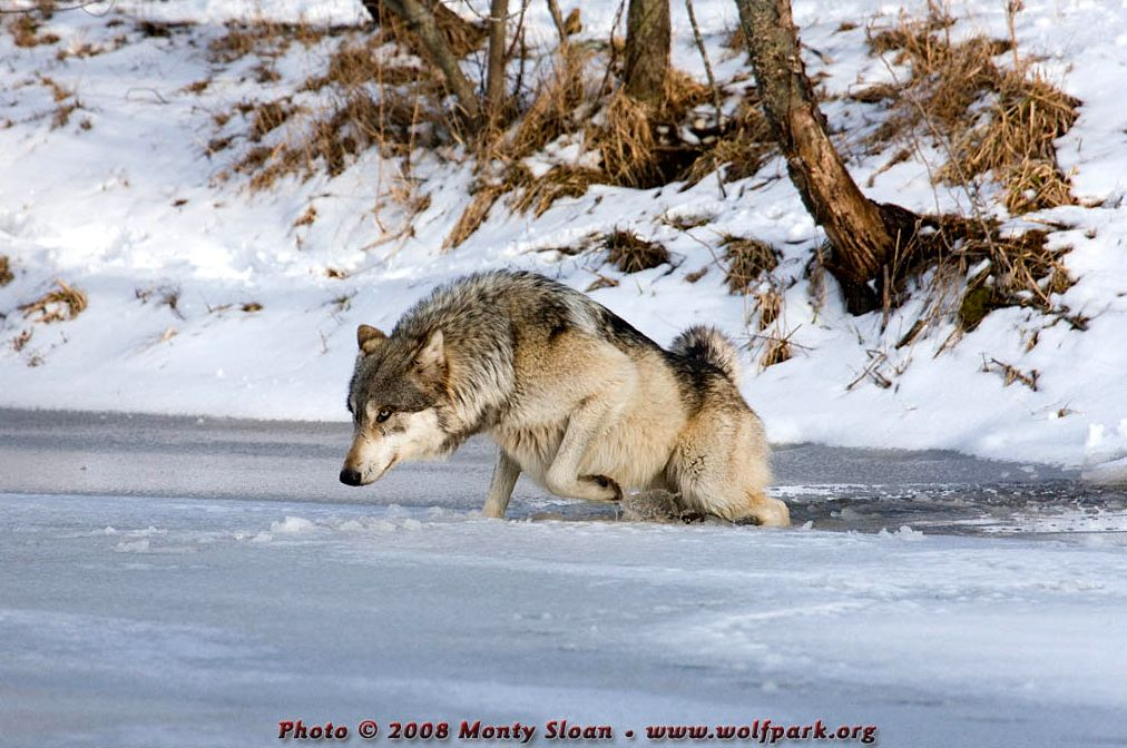 A wolf on thin ice.