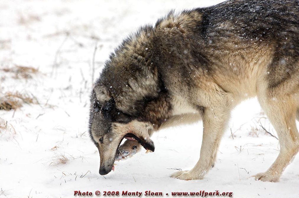 A wolf eating.