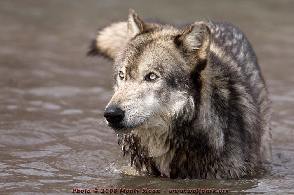 A Photograph of a wolf half submerged in water.