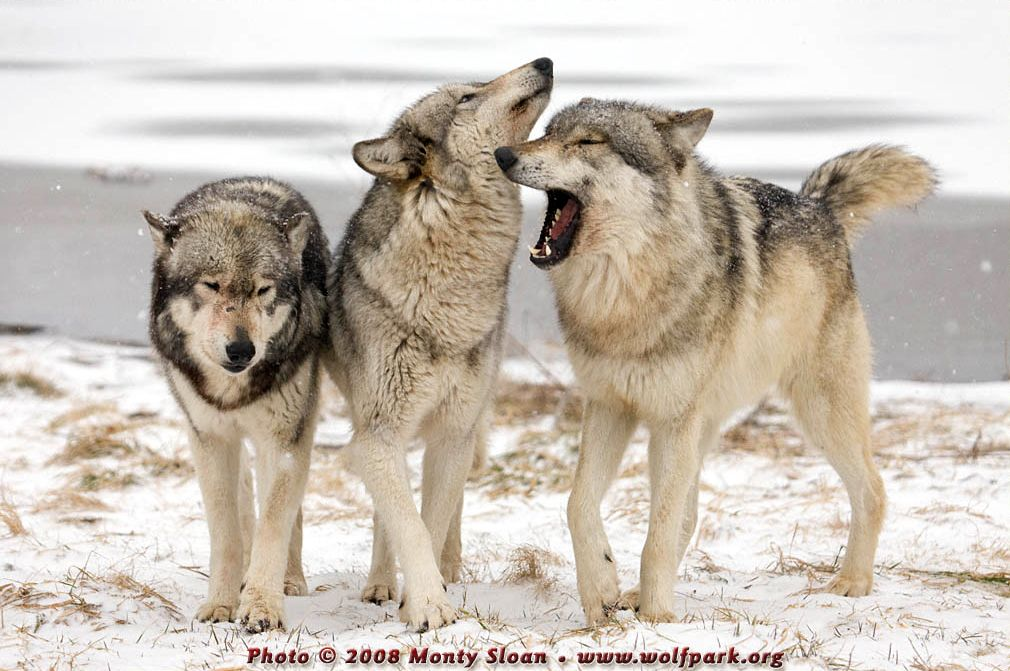 Three wolves, one looking rather silly.