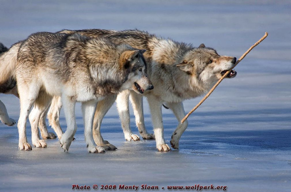 A Photograph of two wolves, side on.