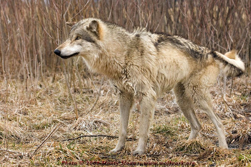 A wet wolf shaking itself dry.