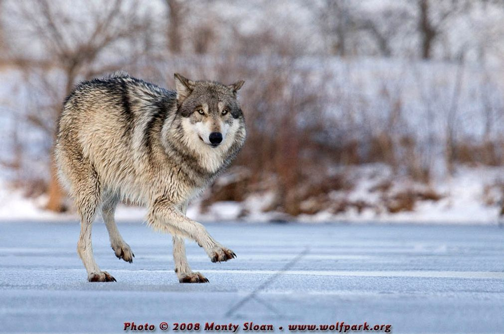 A dancing wolf.