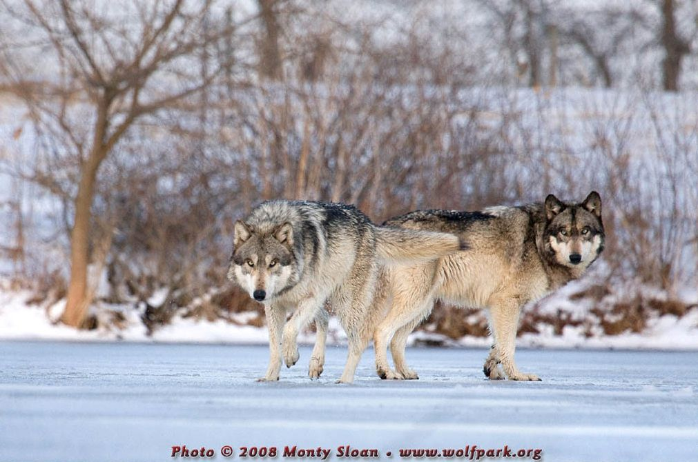 Two Wolves - Wolfgang and Ruedi.