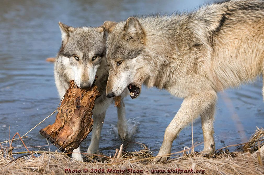 A wolf carrying a piece of wood.