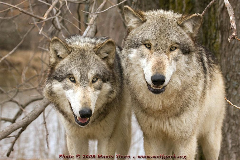 Two wolves face on (Wolfgang and Wotan).