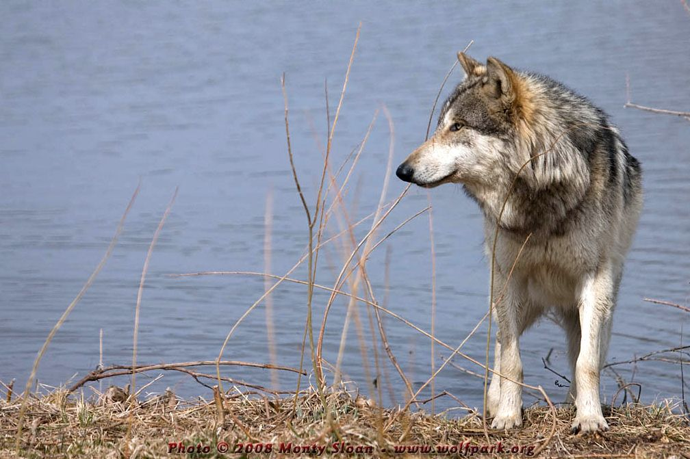 A wolf by a pond (Wolfgang).