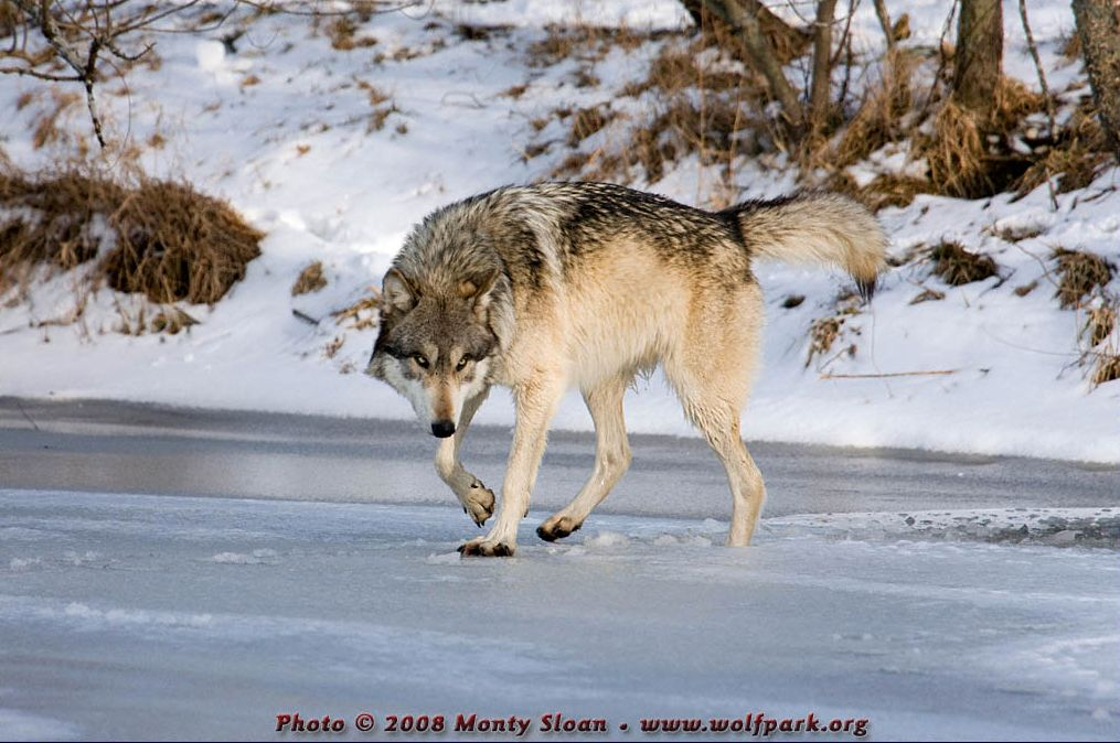 A Wolf on Ice (Wolfgang).